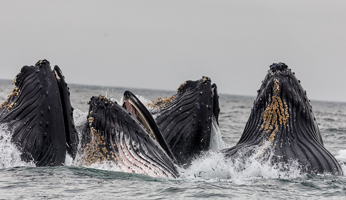 Humpback whales in the South Atlantic have recovered from near ...