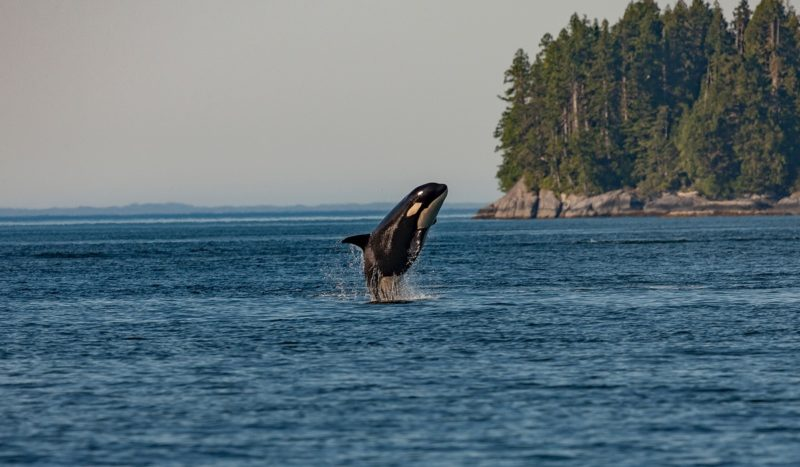 Orca jumping out of the water